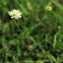 Image of Yellow Scabious