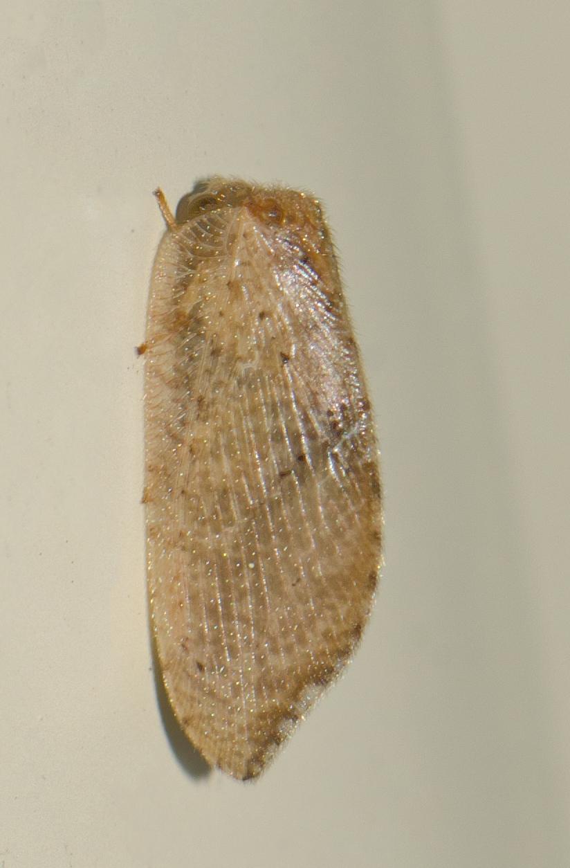 Image of <i>Drepanacra binocula</i> (Newman 1838)