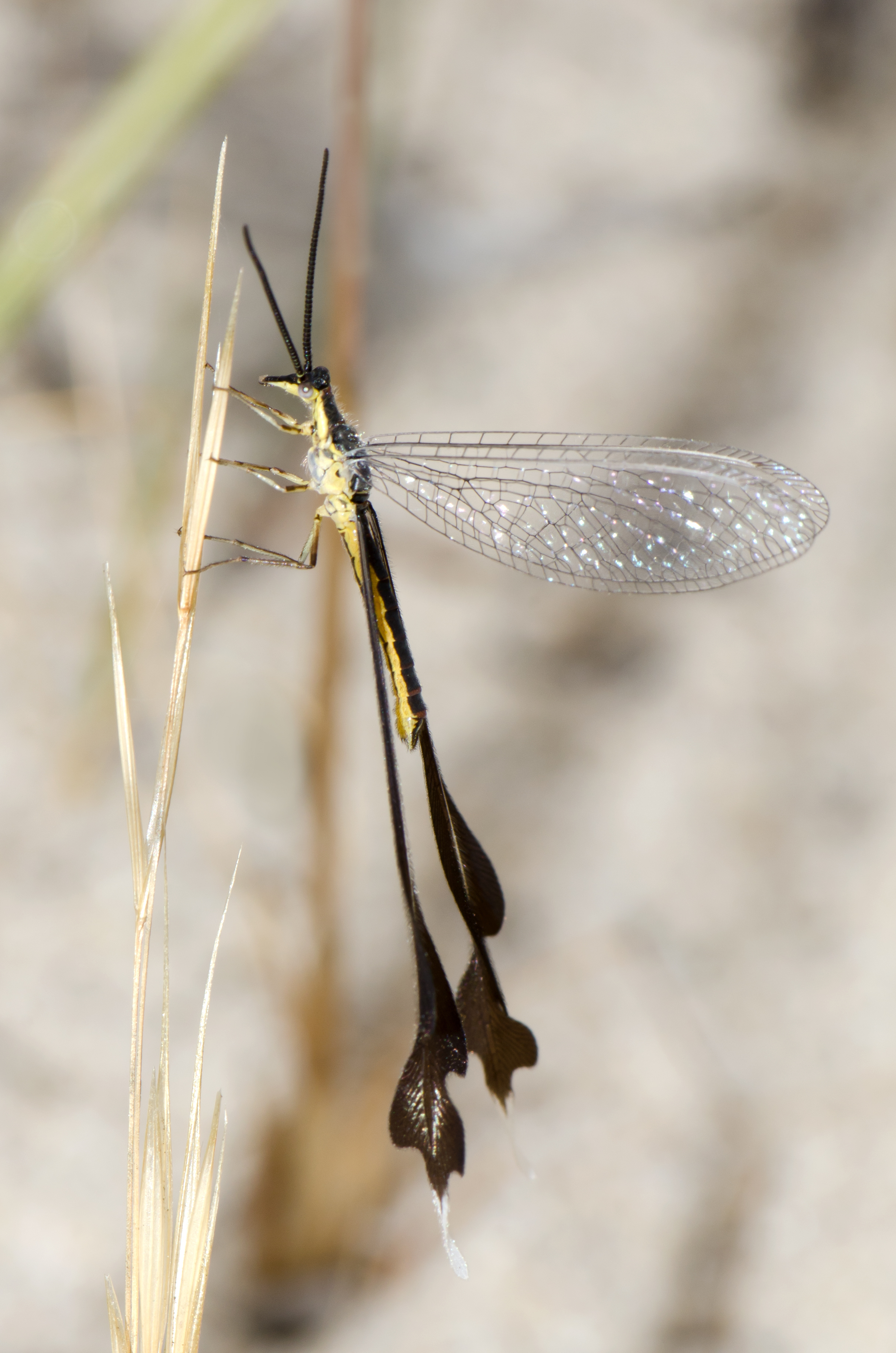 Image of Spoon-winged lacewing