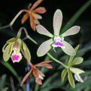 Image of Tampa butterfly orchid