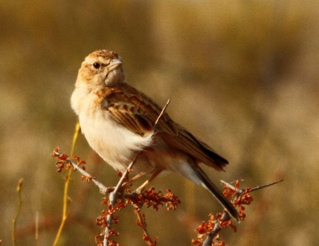 Image of Fawn-colored Lark
