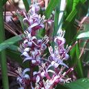 Image of <i>Reineckea carnea</i> (Andrews) Kunth