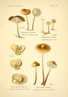 Image of Garlic Parachute