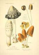 Image of <i>Coprinellus congregatus</i> (Bull.) P. Karst. 1879