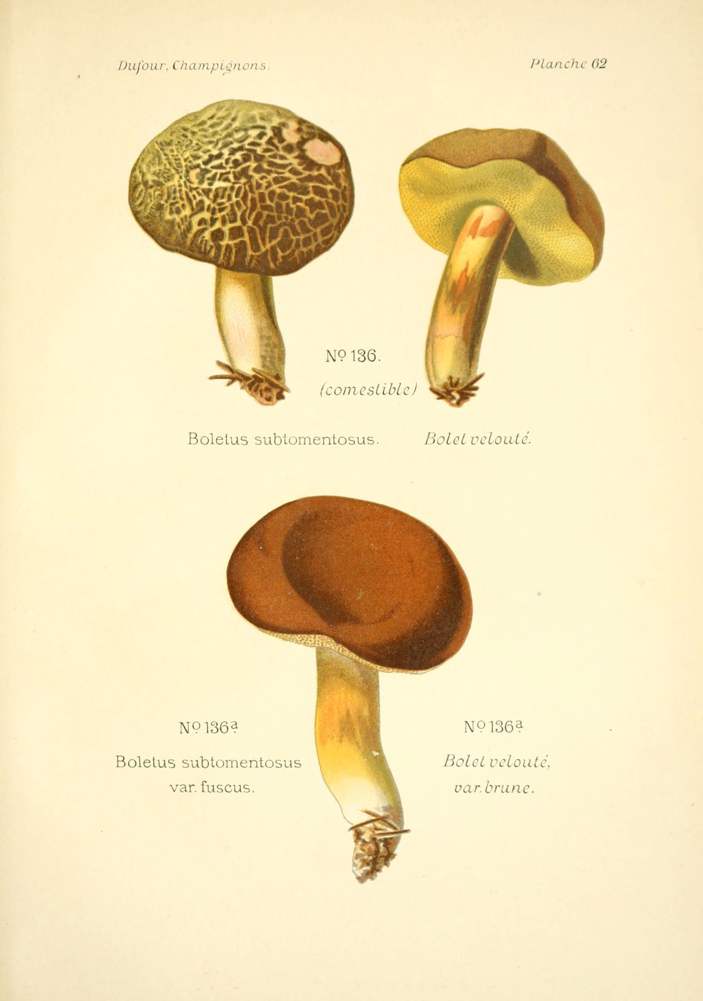 Image of <i>Boletus subtomentosus</i> L. 1753