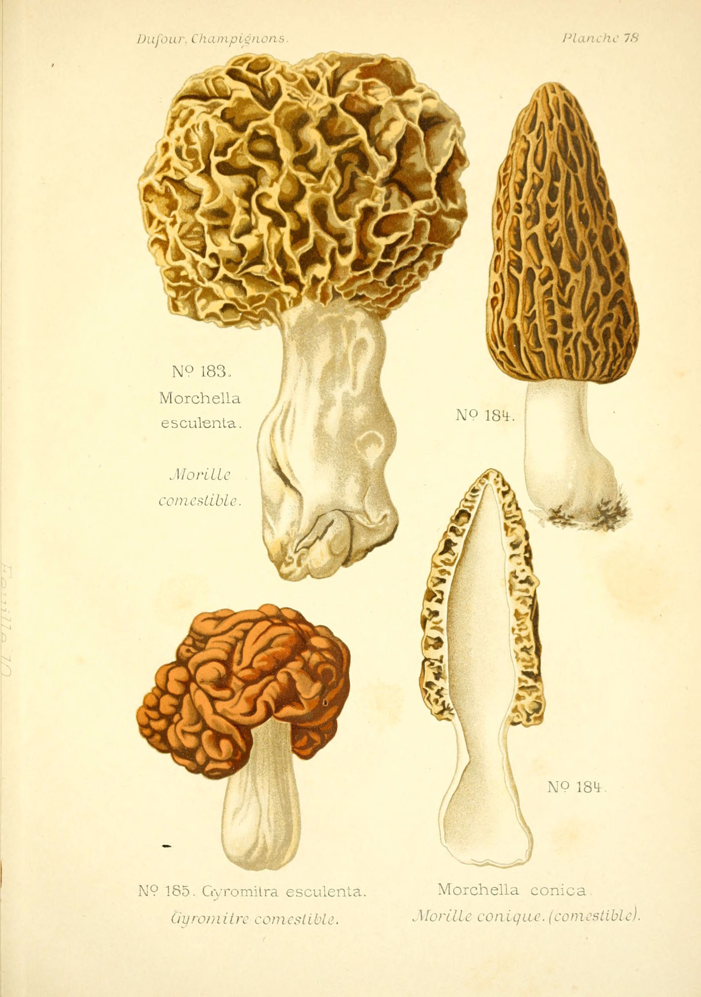 Image of Common morel