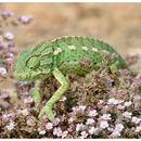 Image of Mediterranean Chameleon