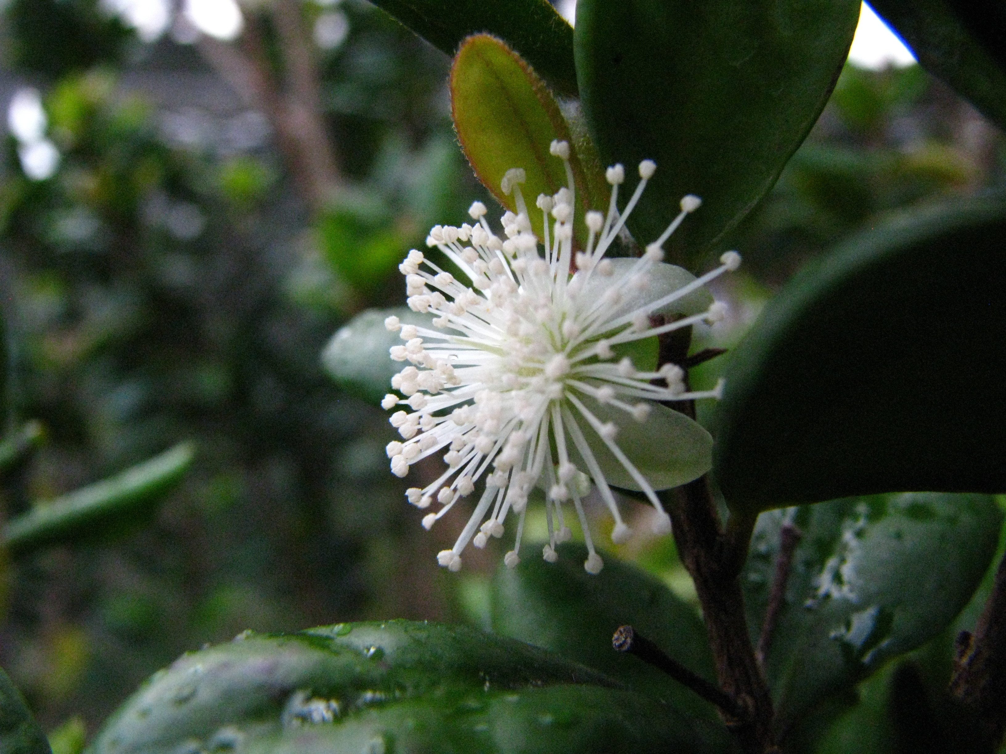 Image of Koʻolau Eugenia