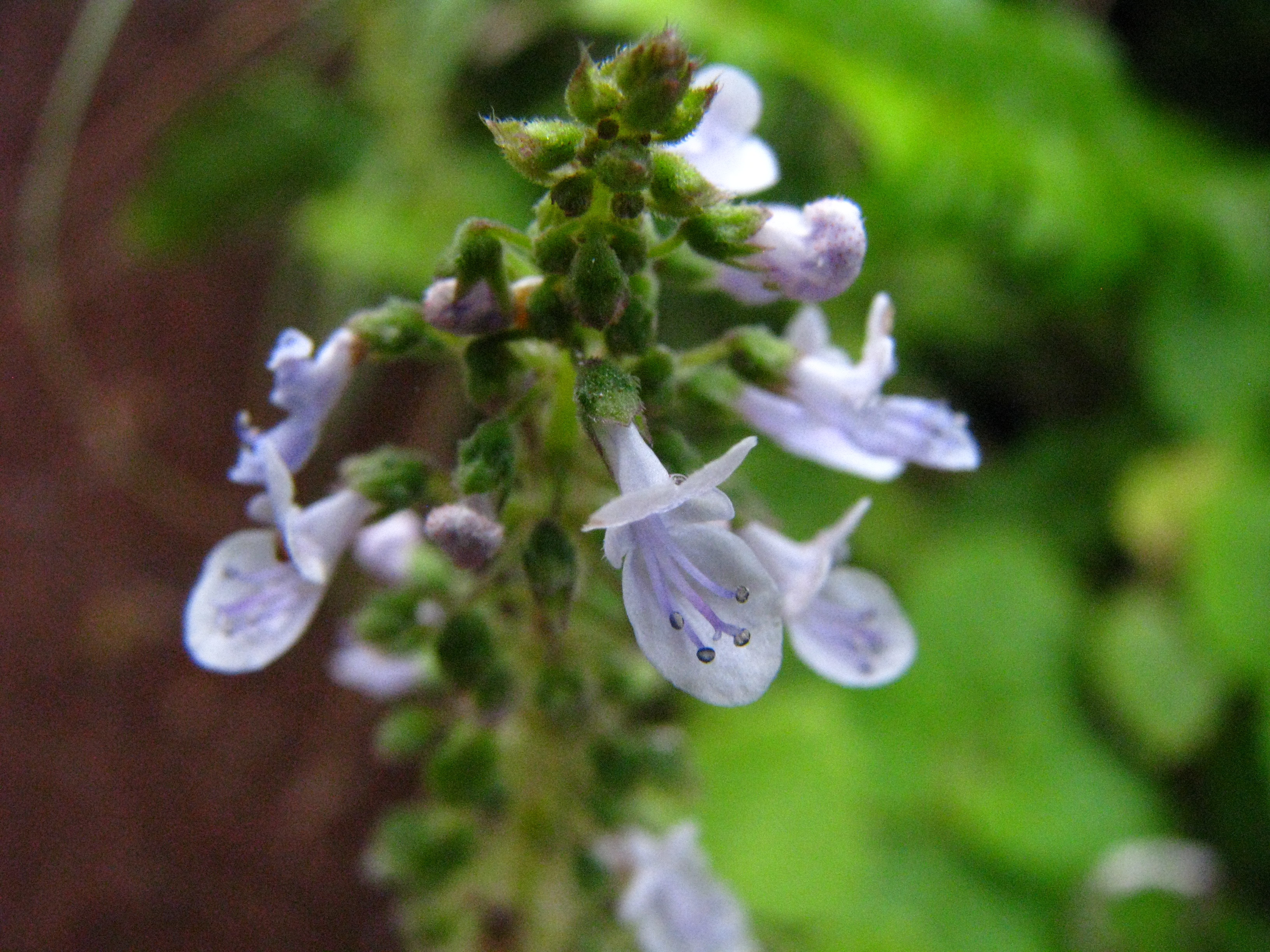 Image of little spurflower