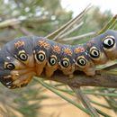 Image of Dryandra moth