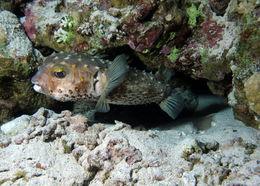 Image of spotbase burrfish