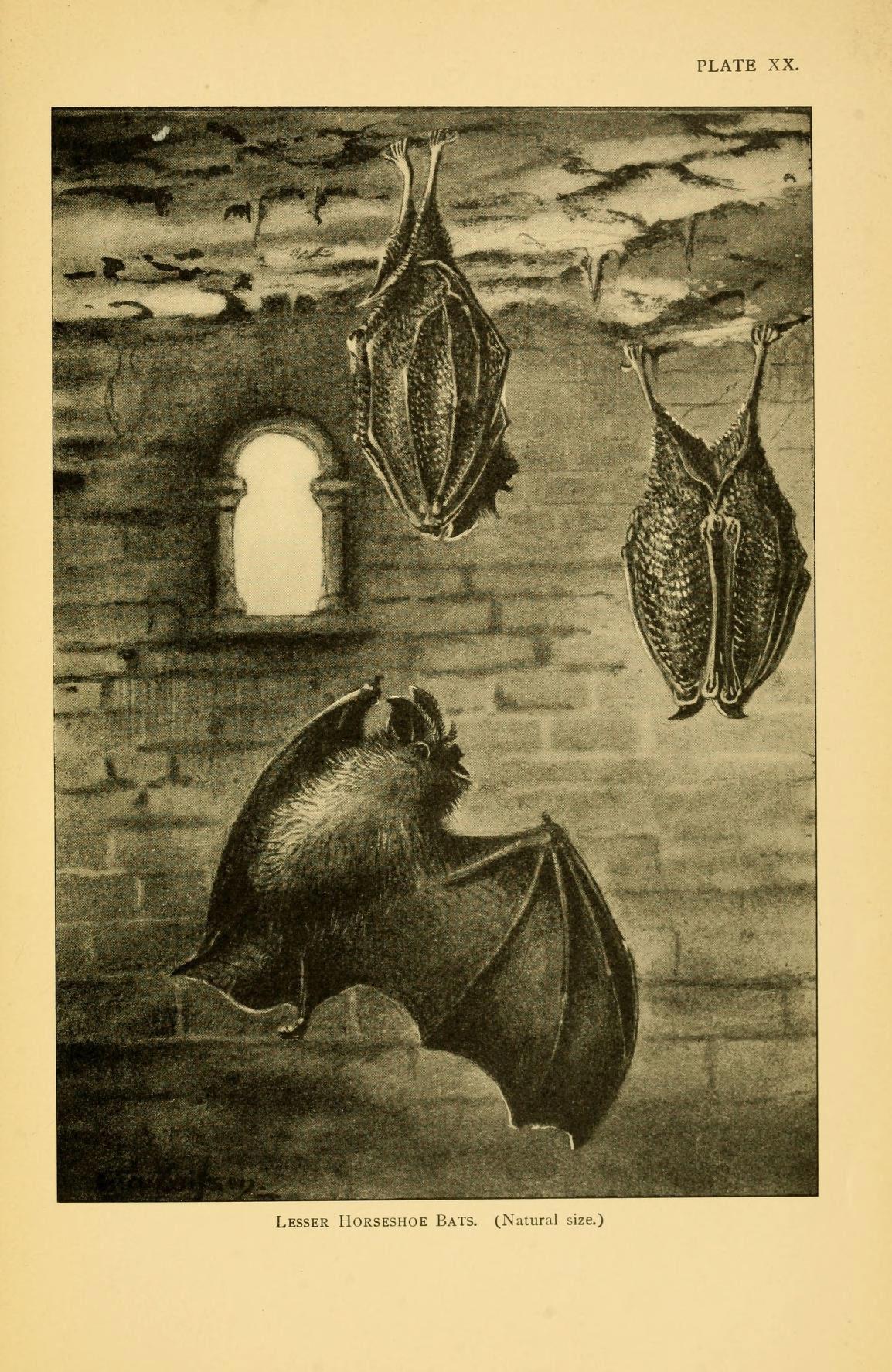 Image of Lesser horseshoe bat