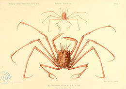 Image of <i>Homolochunia valdiviae</i> Doflein 1904