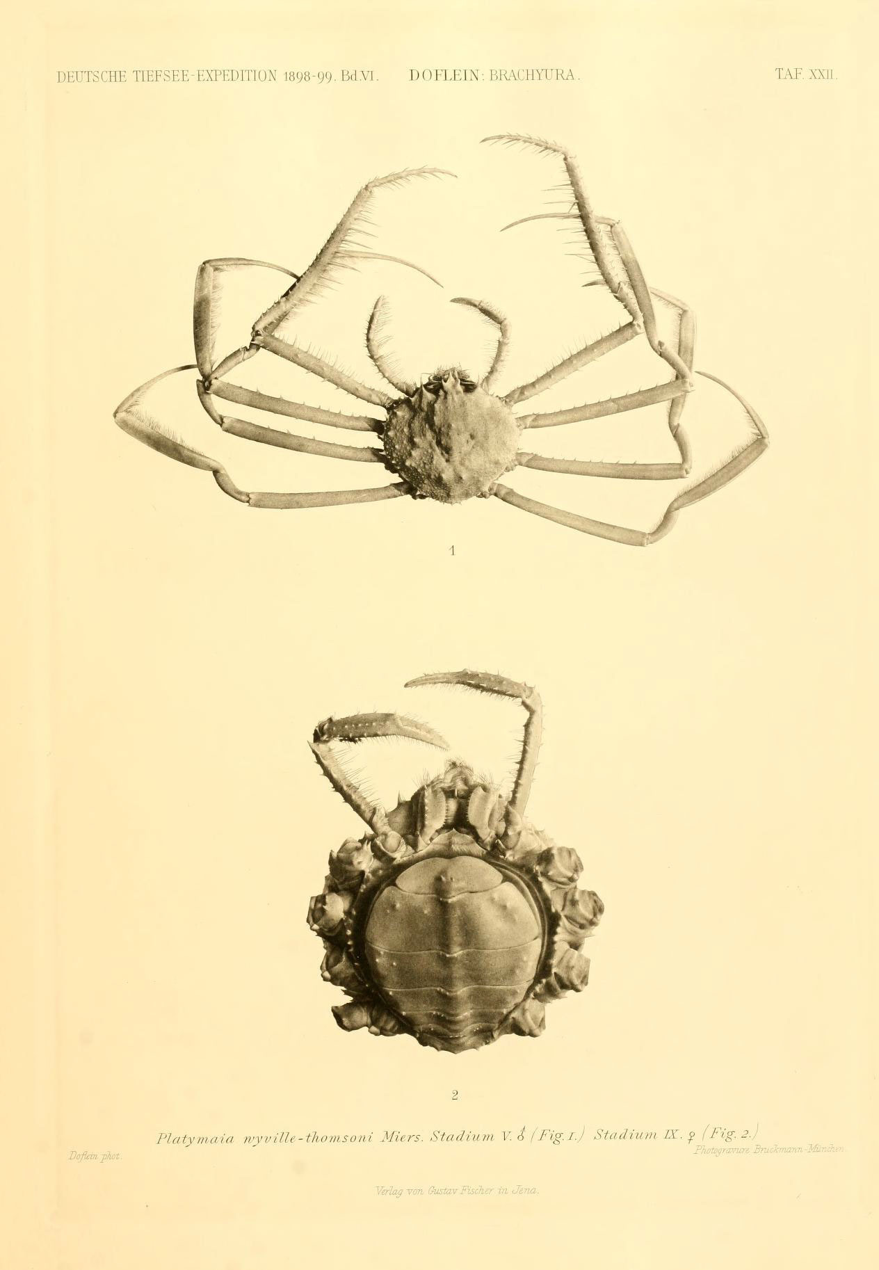 Image of <i>Platymaia wyvillethomsoni</i> Miers 1885