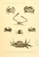 Image of <i>Actaeodes hirsutissimus</i> (Rüppell 1830)