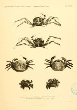 Image of <i>Bathypluma chuni</i> (Doflein 1904)