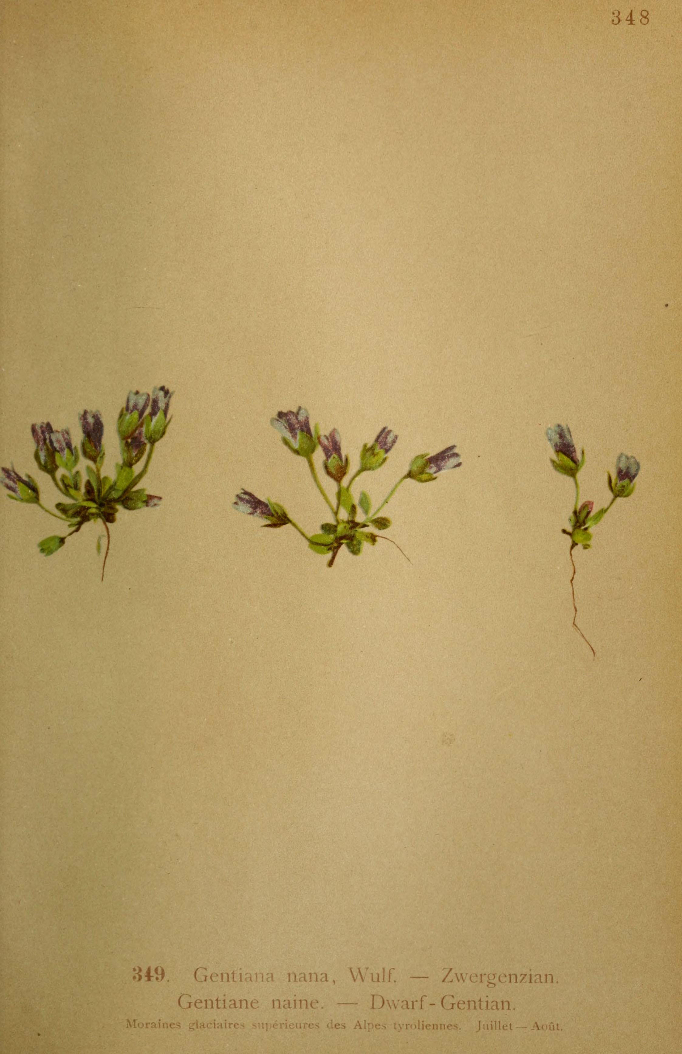 Image of <i>Gentianella nana</i> (Wulfen) N. M. Pritch.