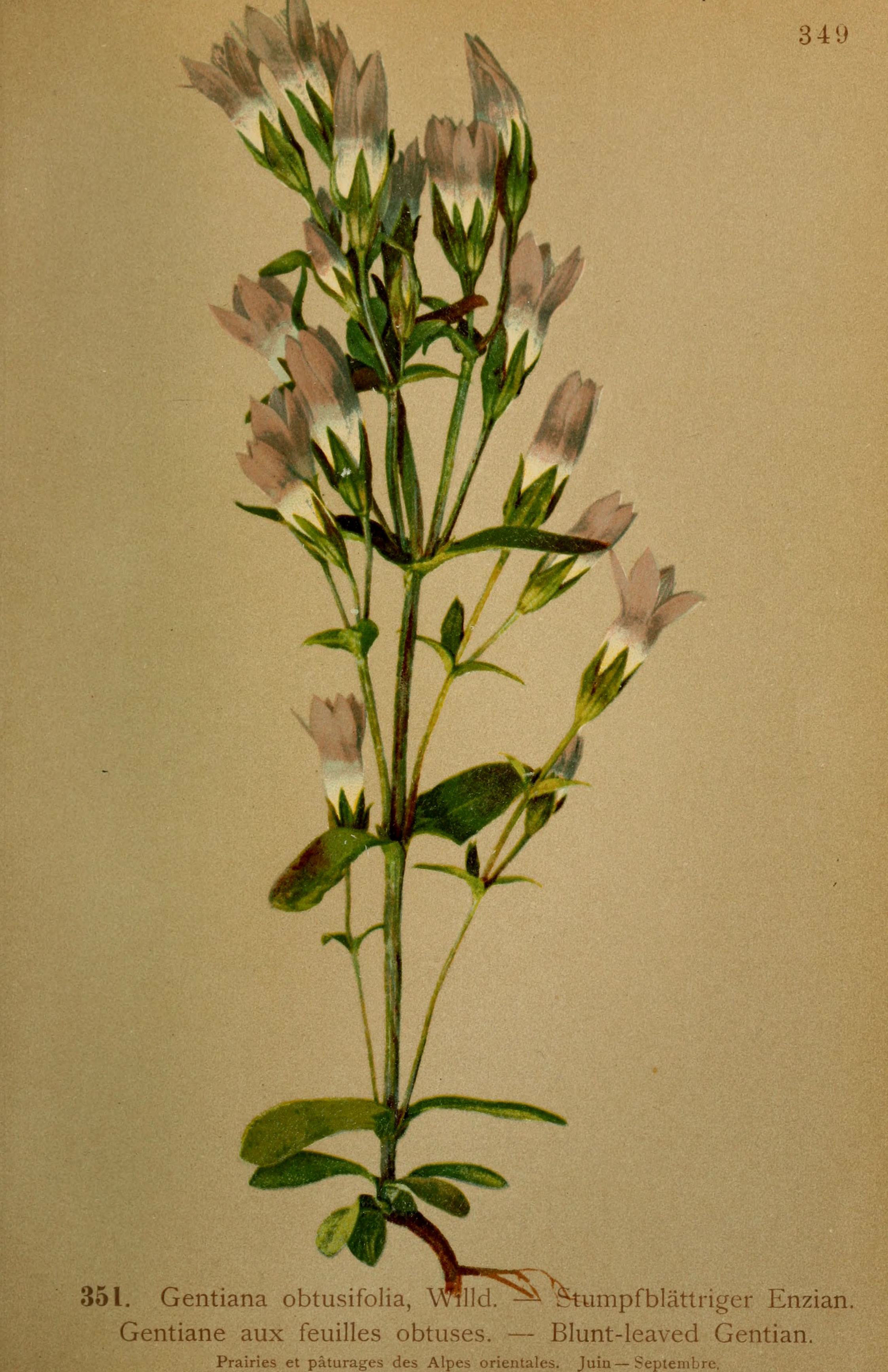 Image of autumn dwarf gentian