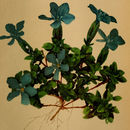 Image of <i>Gentiana brachyphylla</i> ssp. <i>favratii</i> (Rittener) Tutin