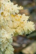 Image of <i>Hericium flagellum</i>