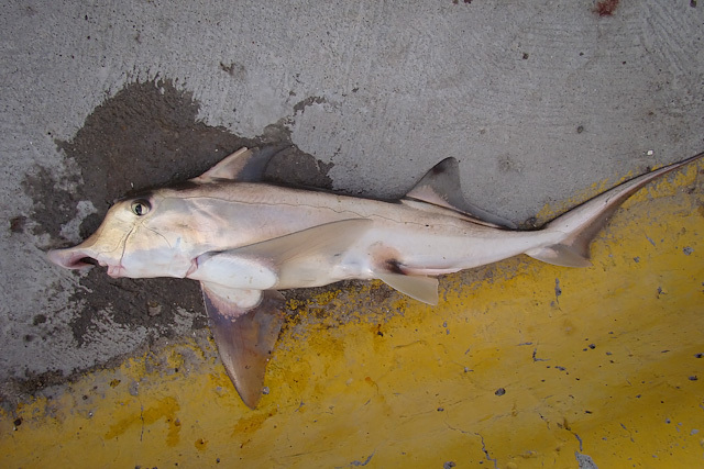 Image of American Elephantfish