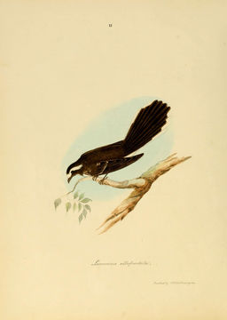 Image of White-browed Fantail