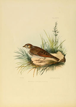 Image of Indian Bush Lark
