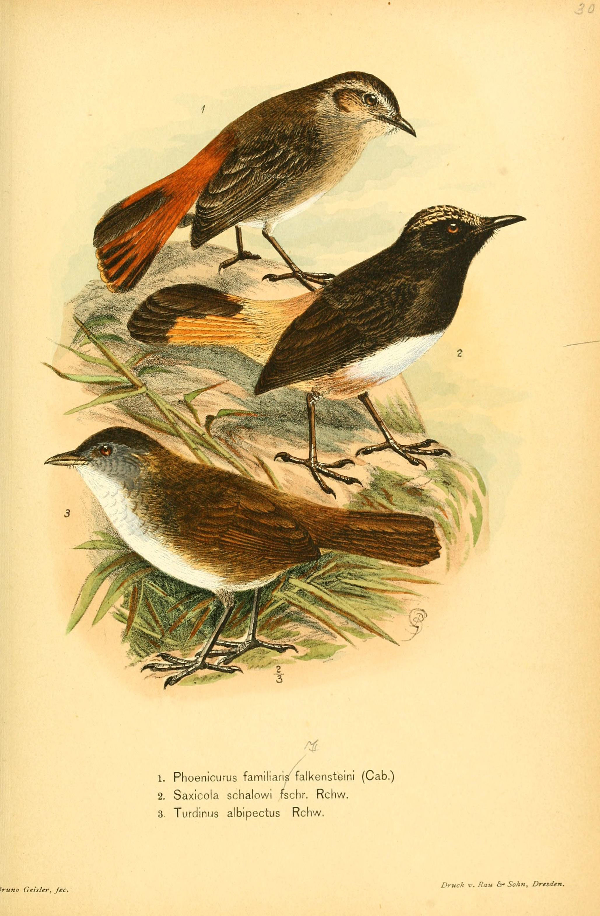 Image of Schalow's Wheatear