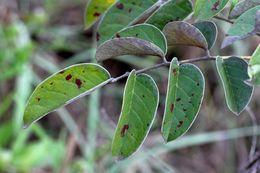 Image of <i>Connarus suberosus</i> Planch.