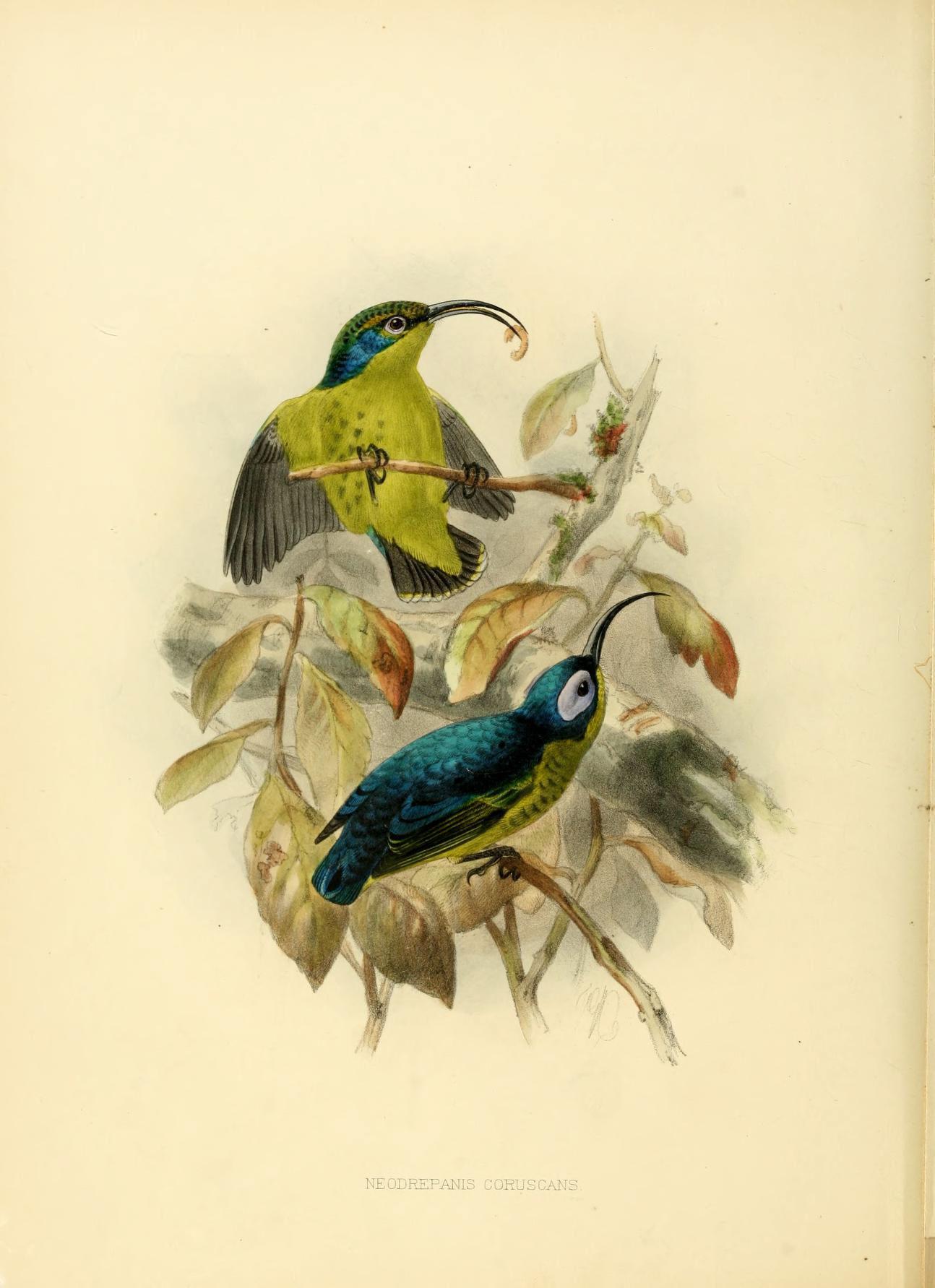 Image of Sunbird Asity