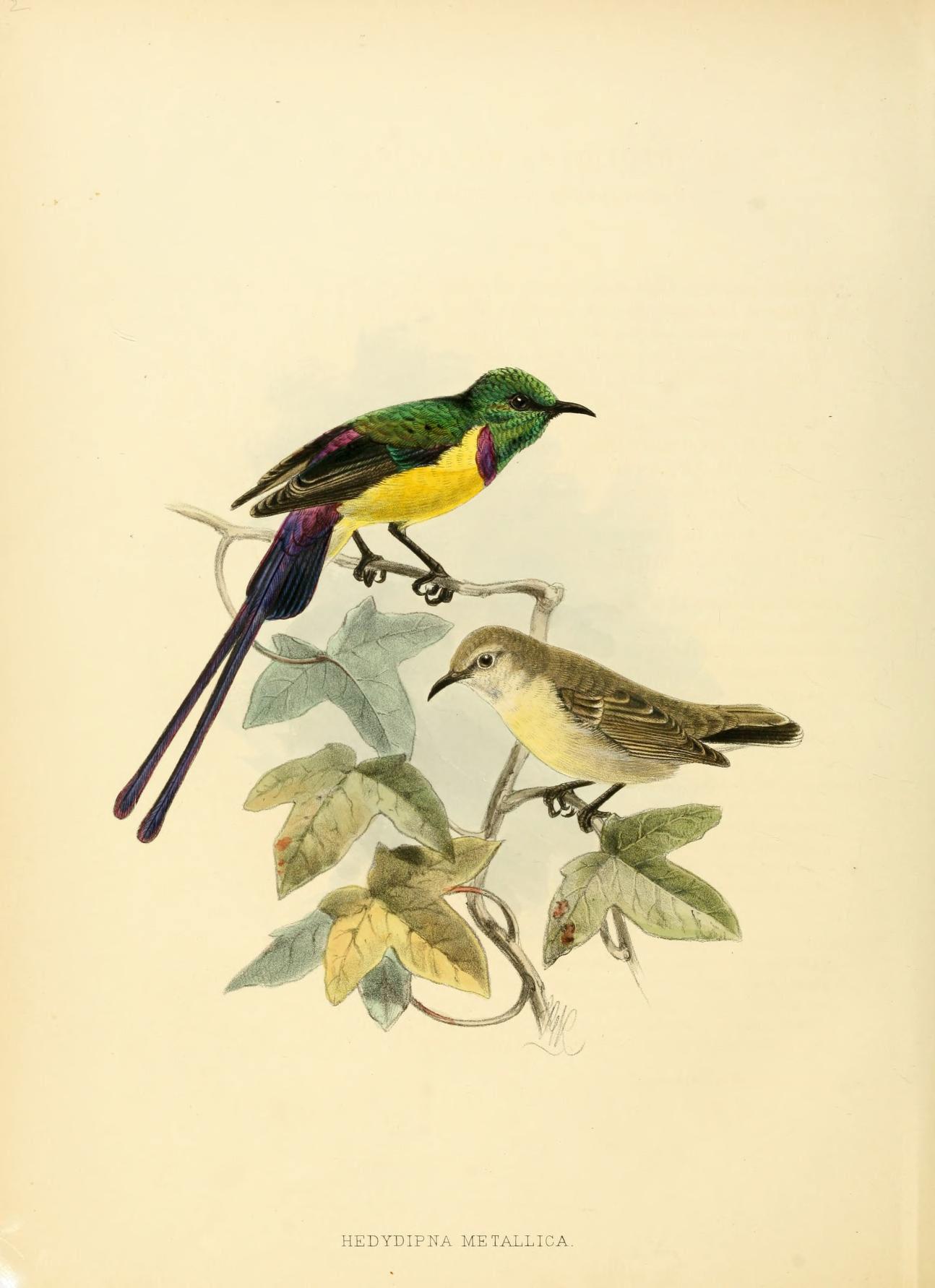 Image of Nile Valley Sunbird