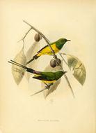 Image of Pygmy Sunbird