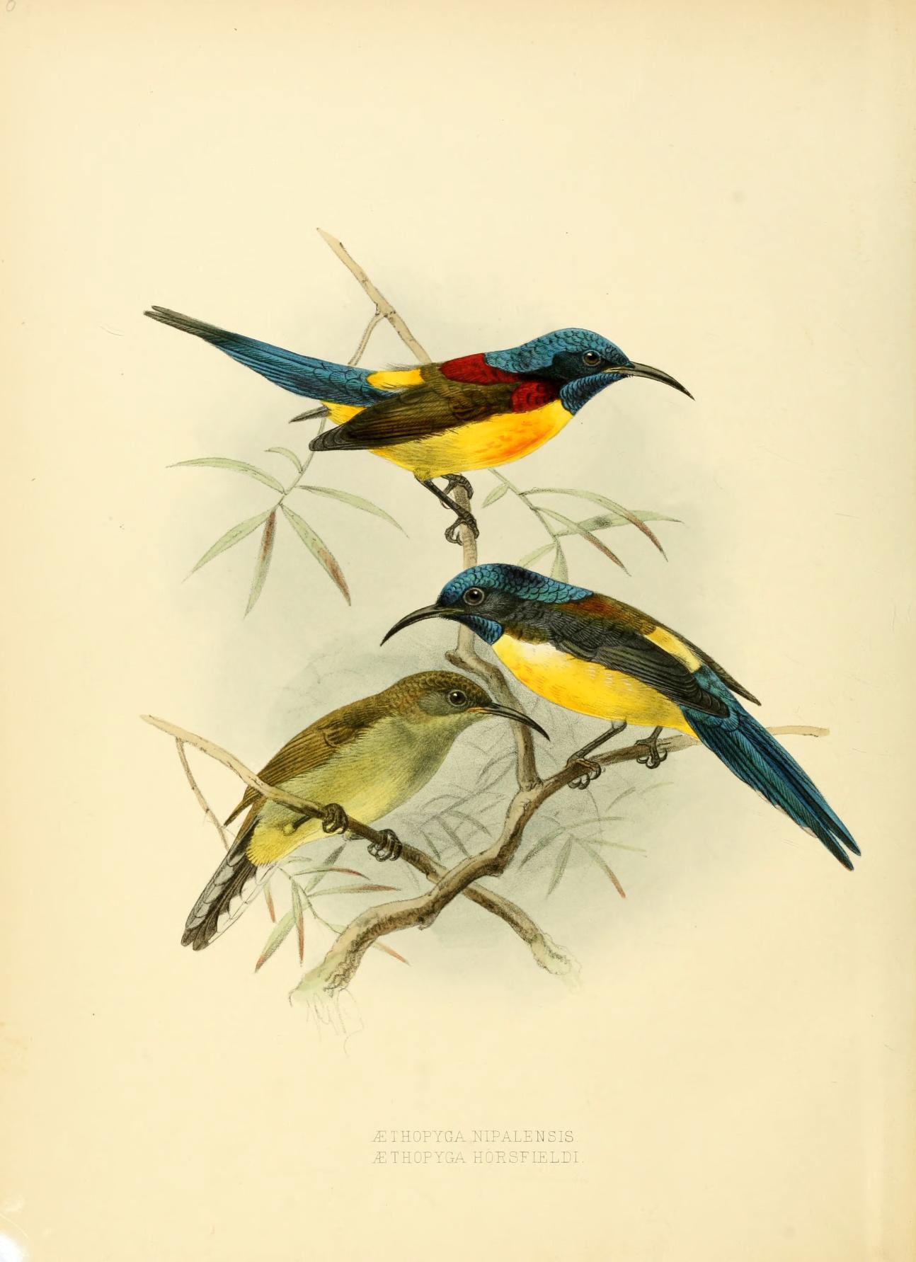 Image of <i>Aethopyga nipalensis horsfieldi</i> (Blyth 1843)