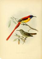 Image of Fire-tailed Sunbird