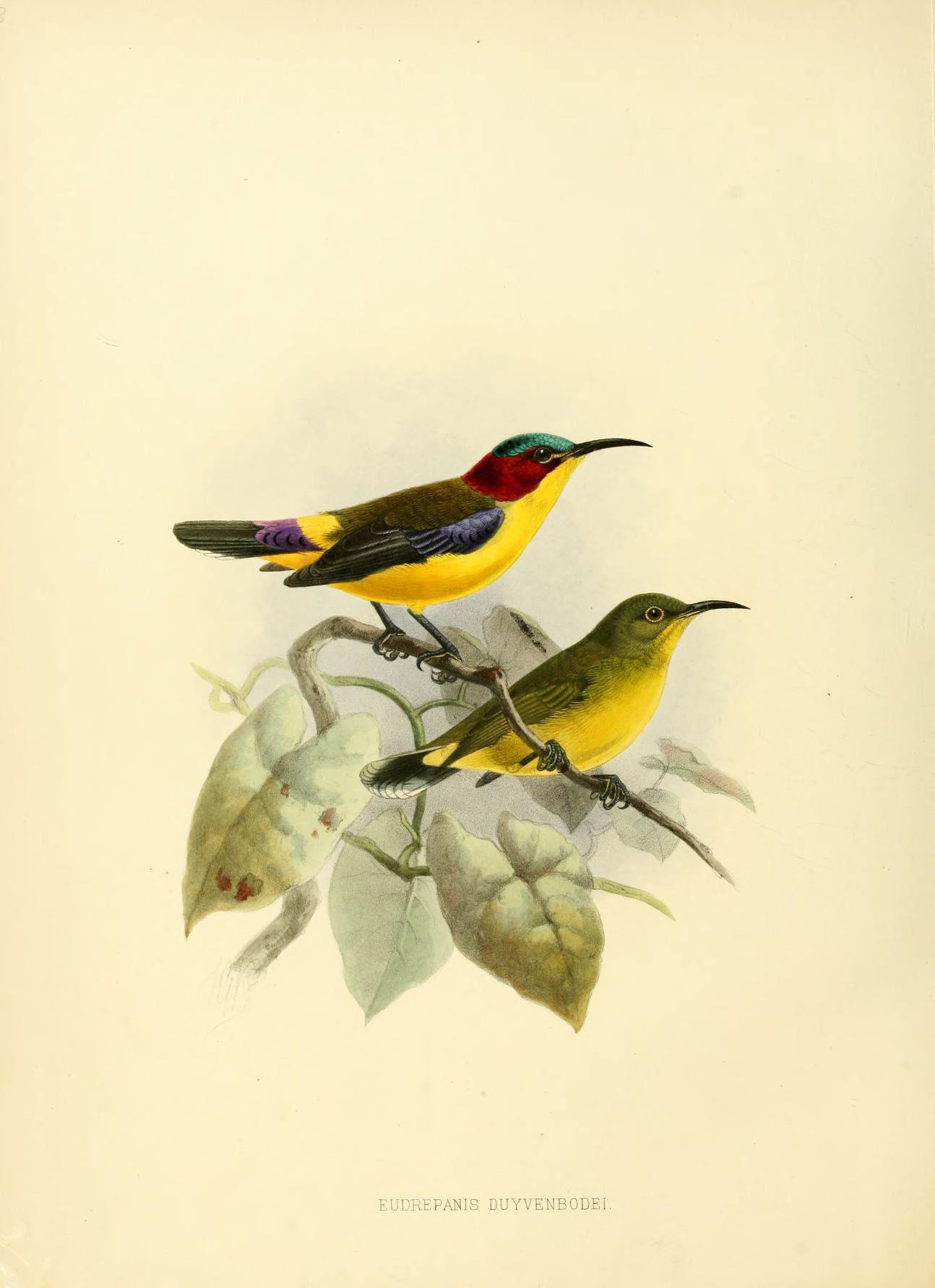Image of Elegant Sunbird