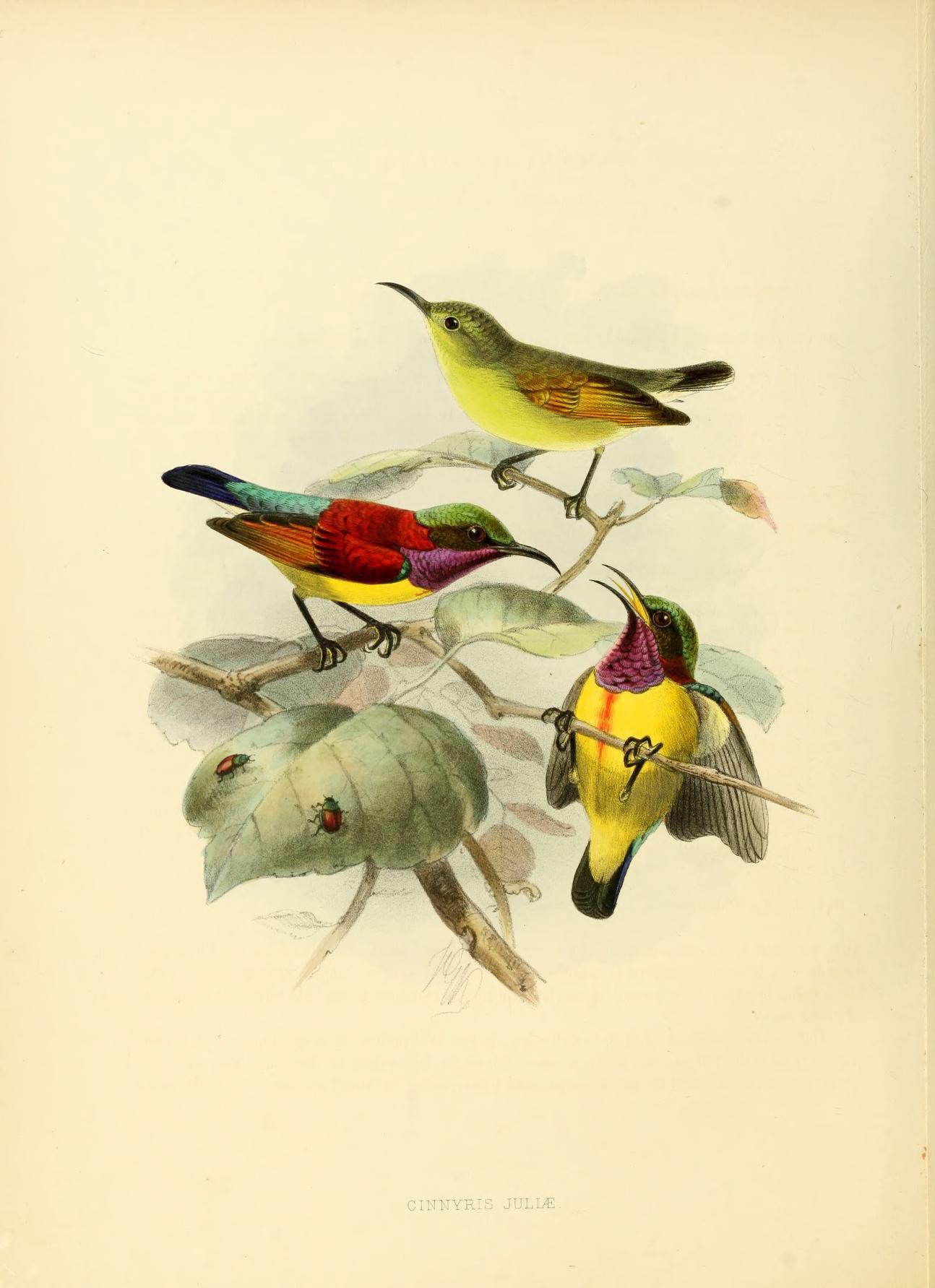 Image of <i>Leptocoma sperata juliae</i> (Tweeddale 1877)