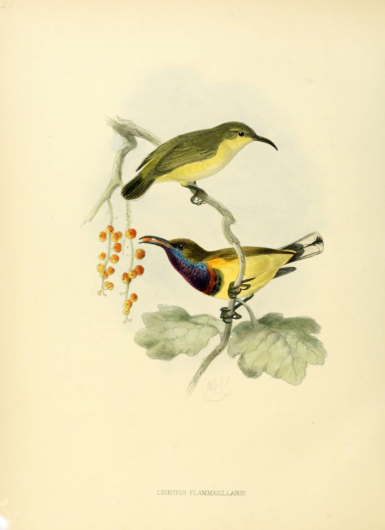 Image of <i>Cinnyris jugularis flammaxillaris</i> (Blyth 1845)