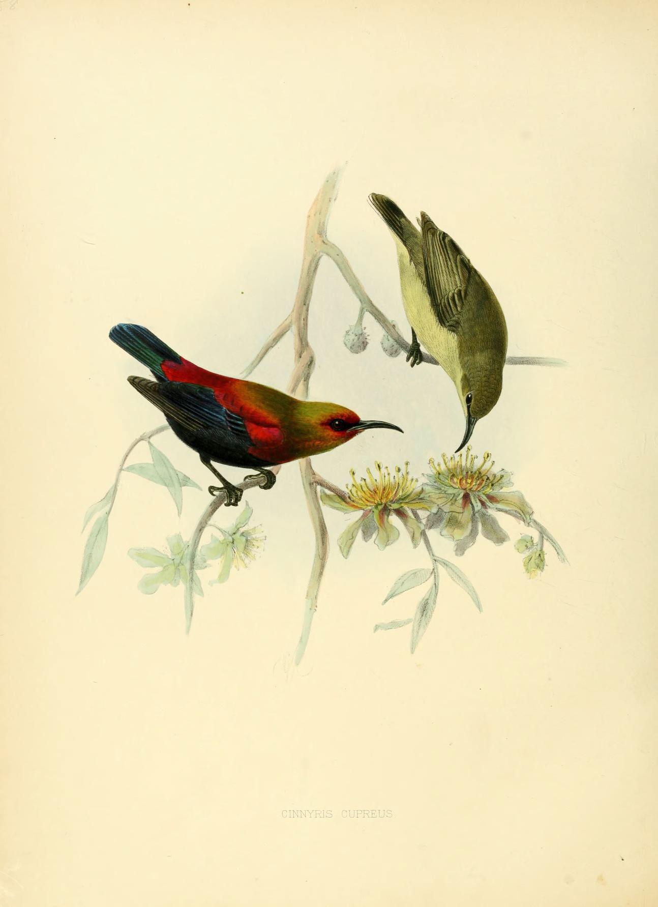 Image of Copper Sunbird