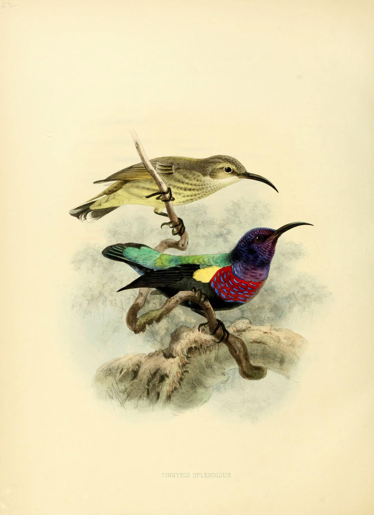 Image of Splendid Sunbird