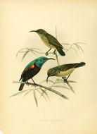 Image of Anjouan Sunbird