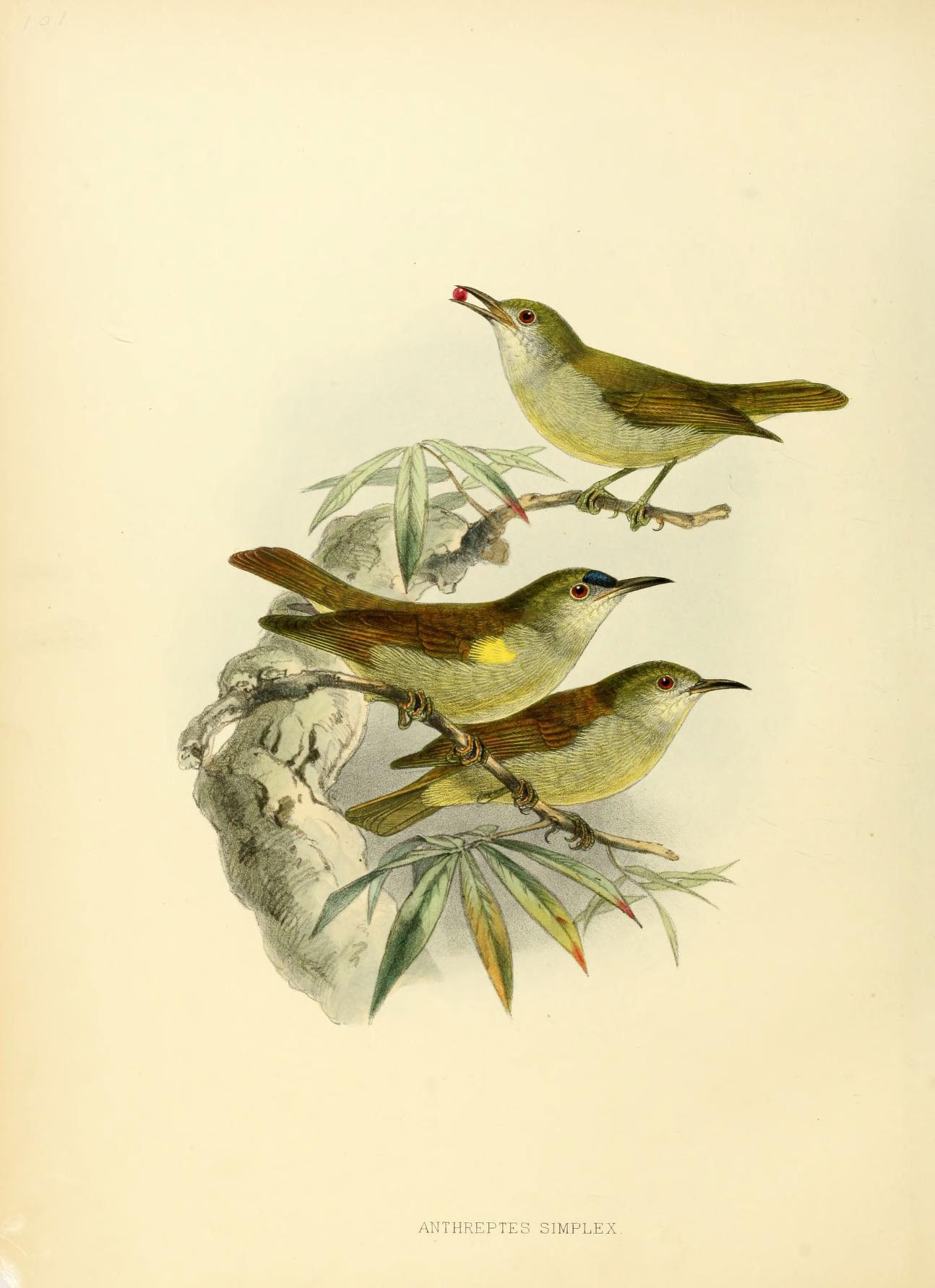 Image of Plain Sunbird