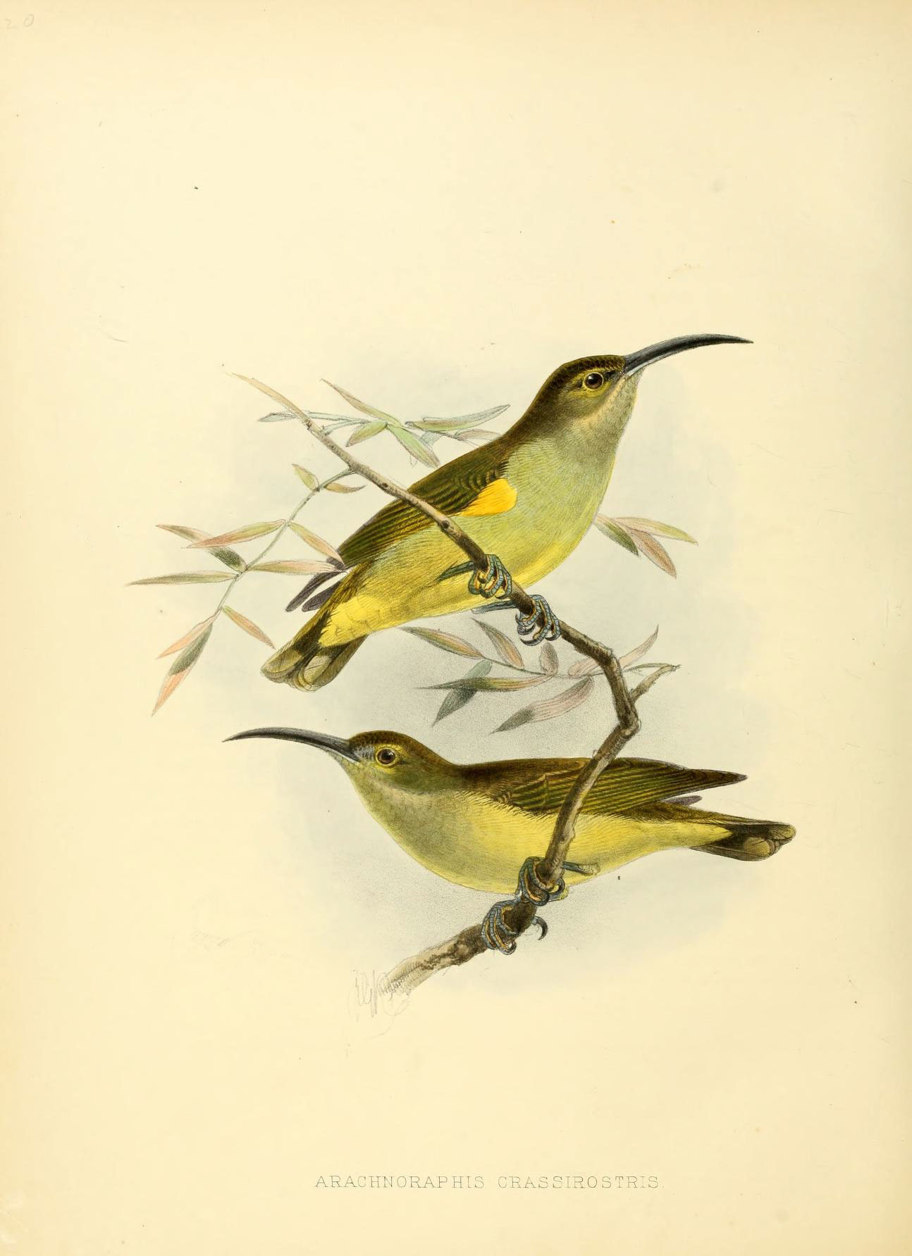 Image of Thick-billed Spiderhunter