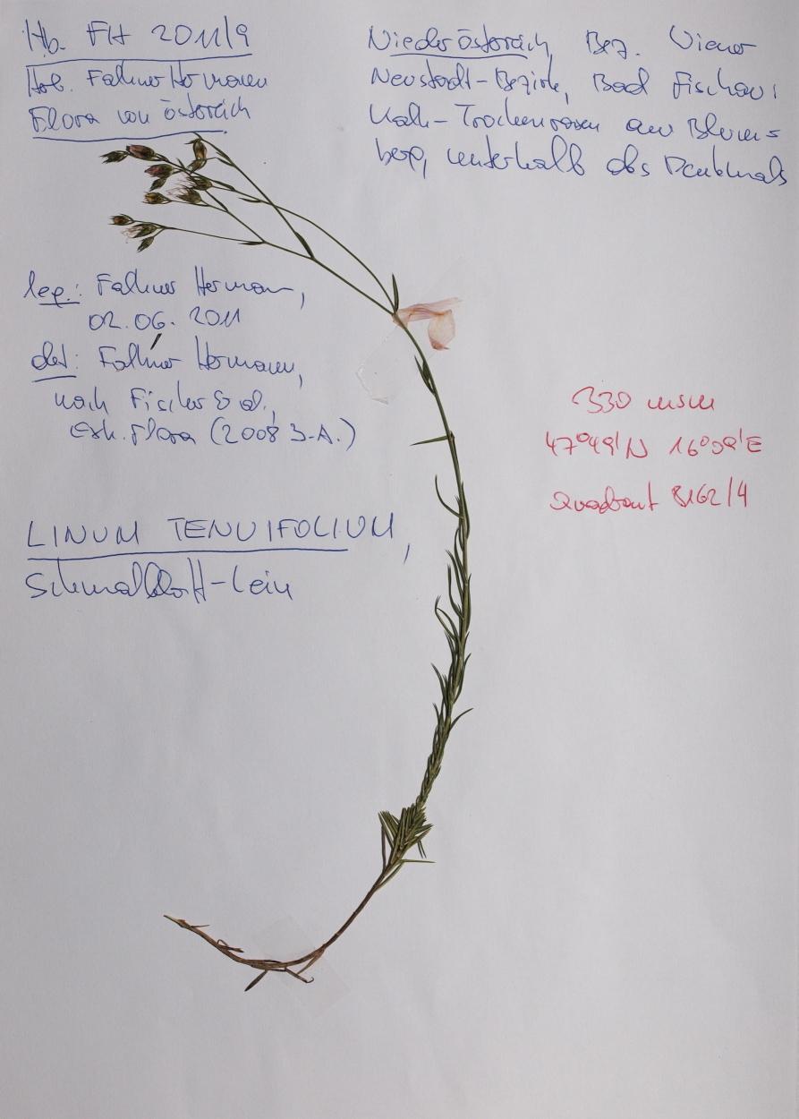 Image of <i>Linum tenuifolium</i> L.