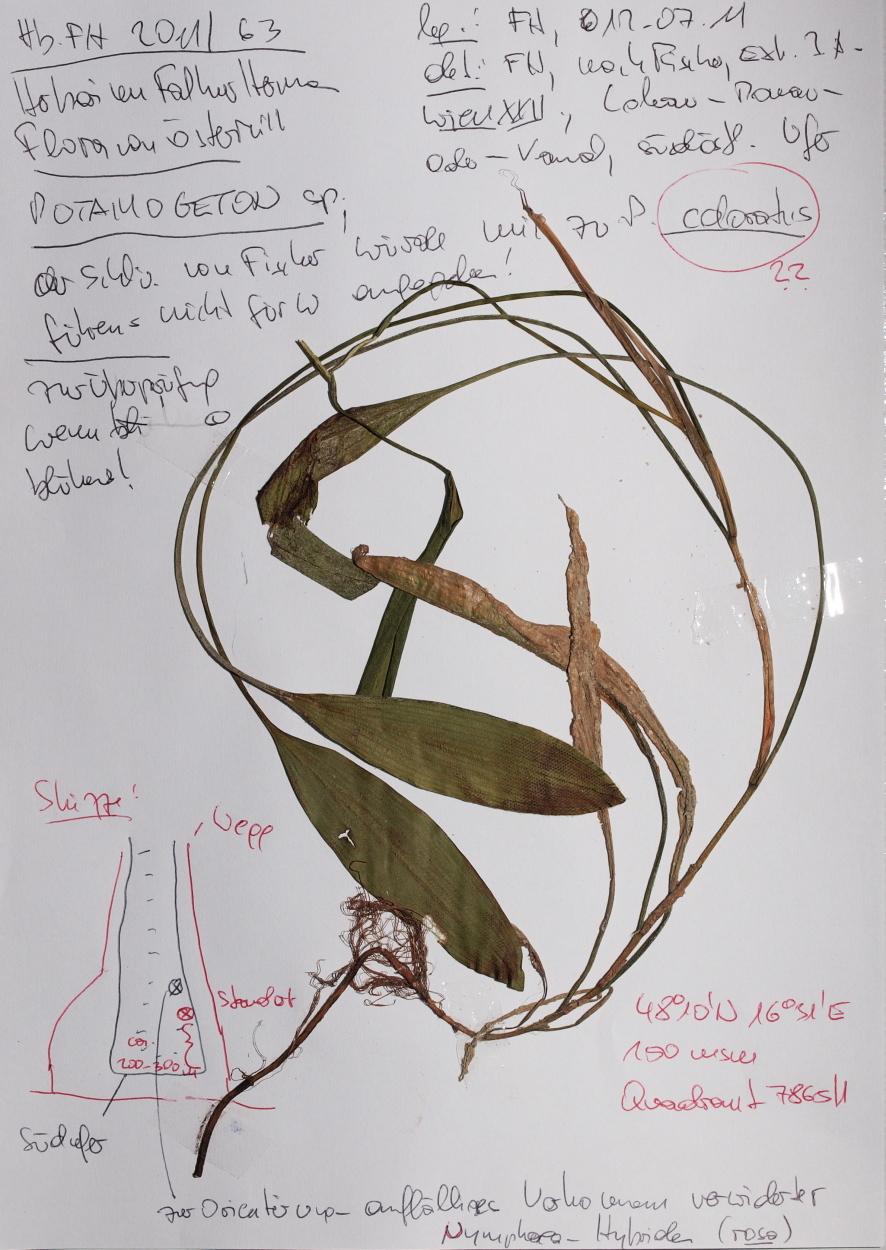 Image of fen pondweed