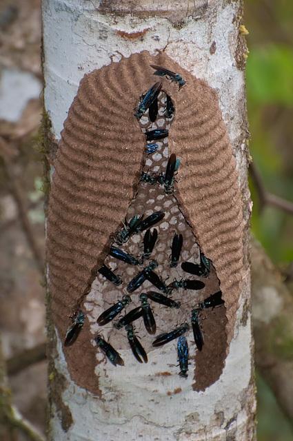 Image of marimbondo-tatu (wasp)