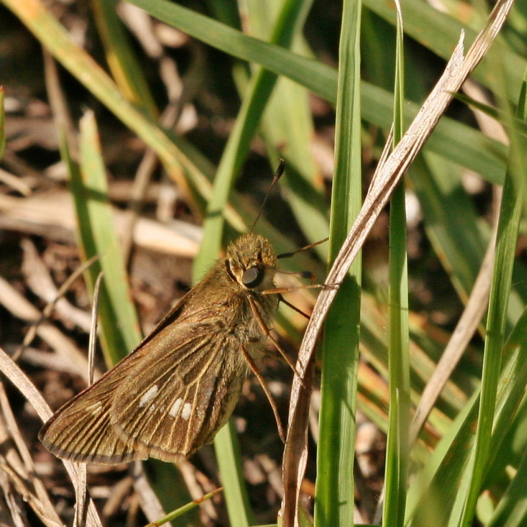 Image of Obscure Skipper