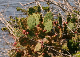 Image of Erect Prickly Pear