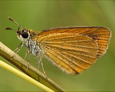 Image of Least Skipper