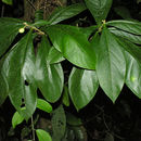 Image of <i>Daphnopsis costaricensis</i> K. Barringer & Grayum