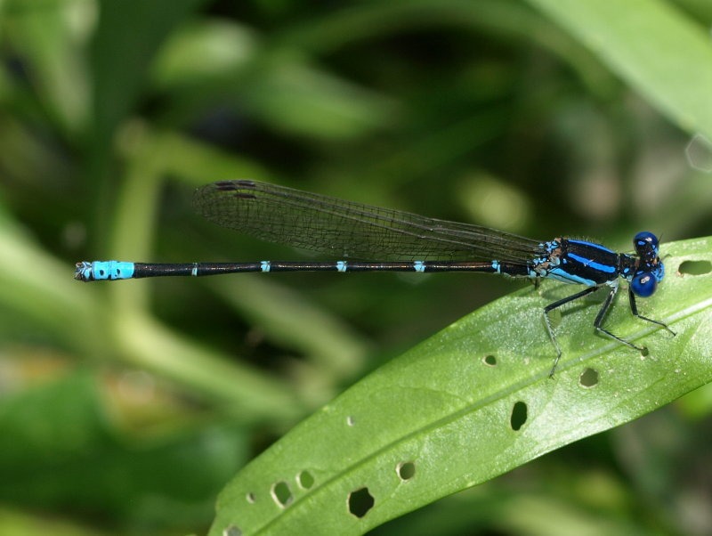 Image of Blue-ringed Dancer